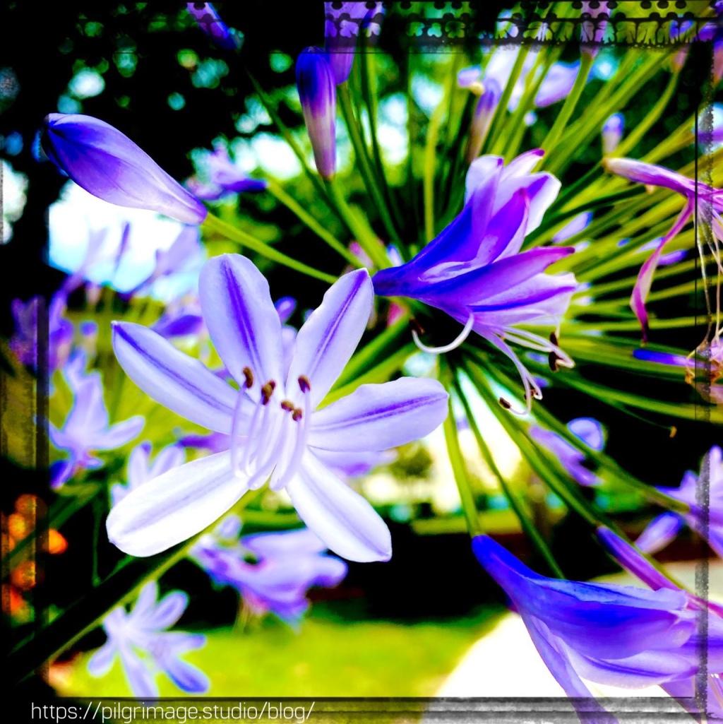 Blue Giant Agapanthus in Full bloom