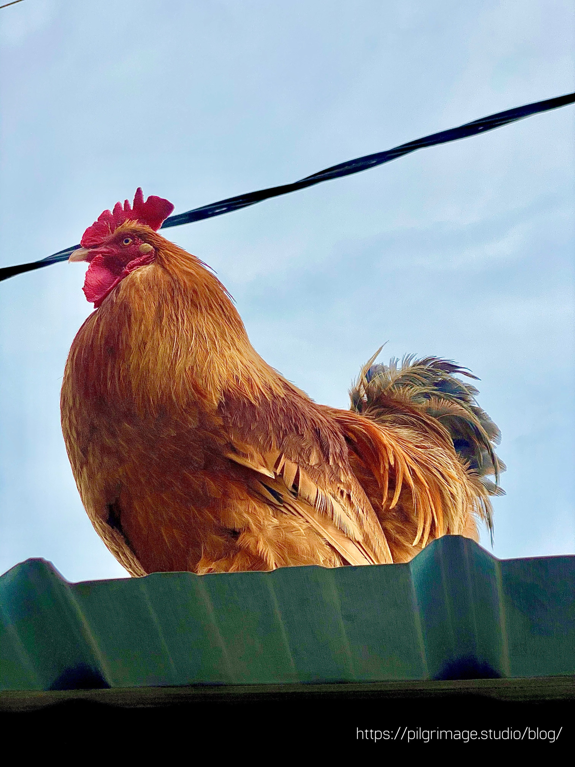 Rooster on top of the shed