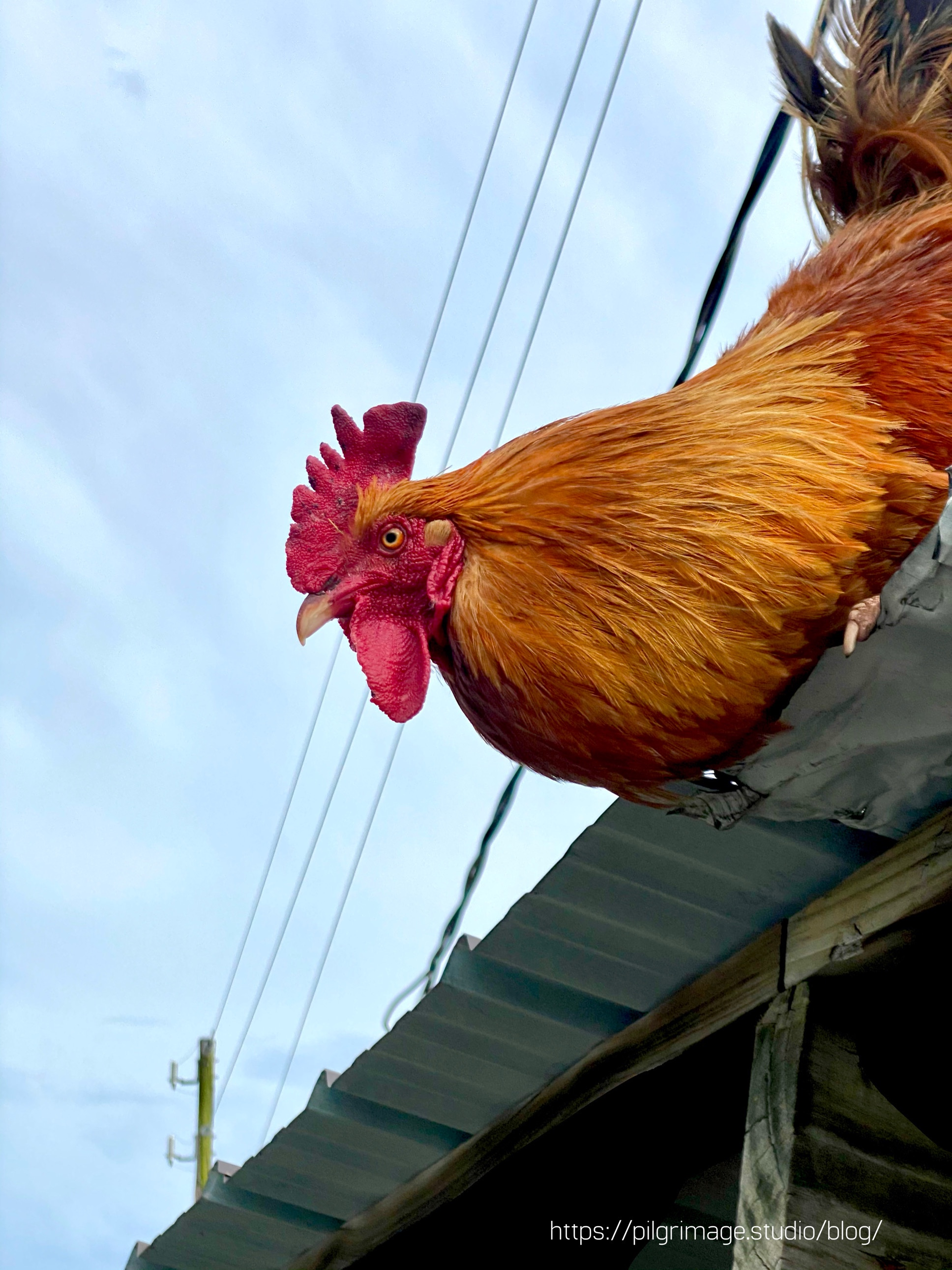 Rooster looking over the roof of the shed