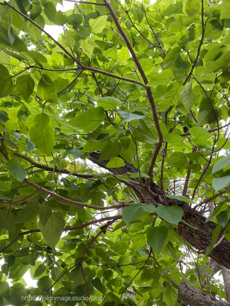 Looking up at the leaves and branches