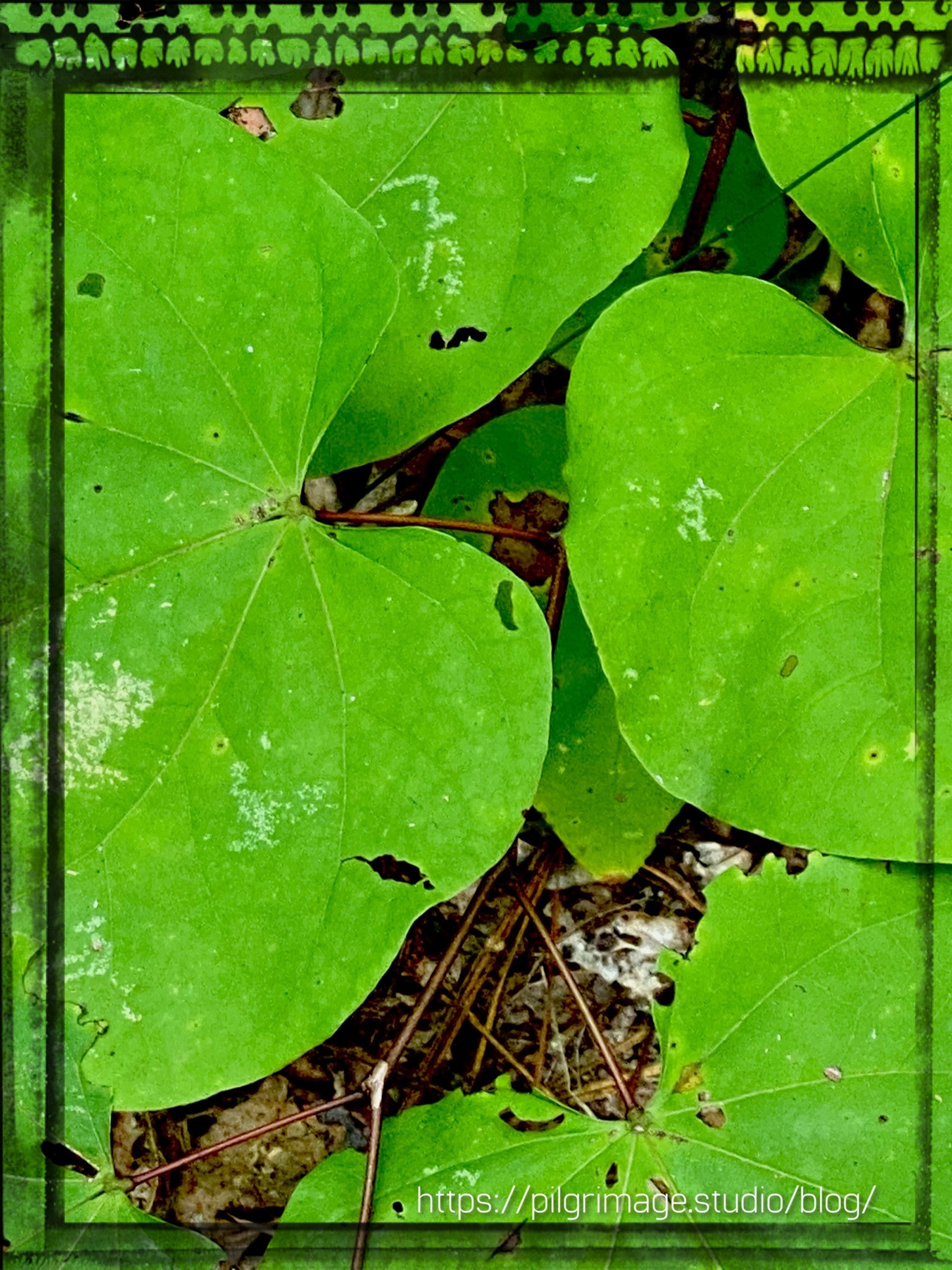 Large Green Leaves ​covering the forest floor