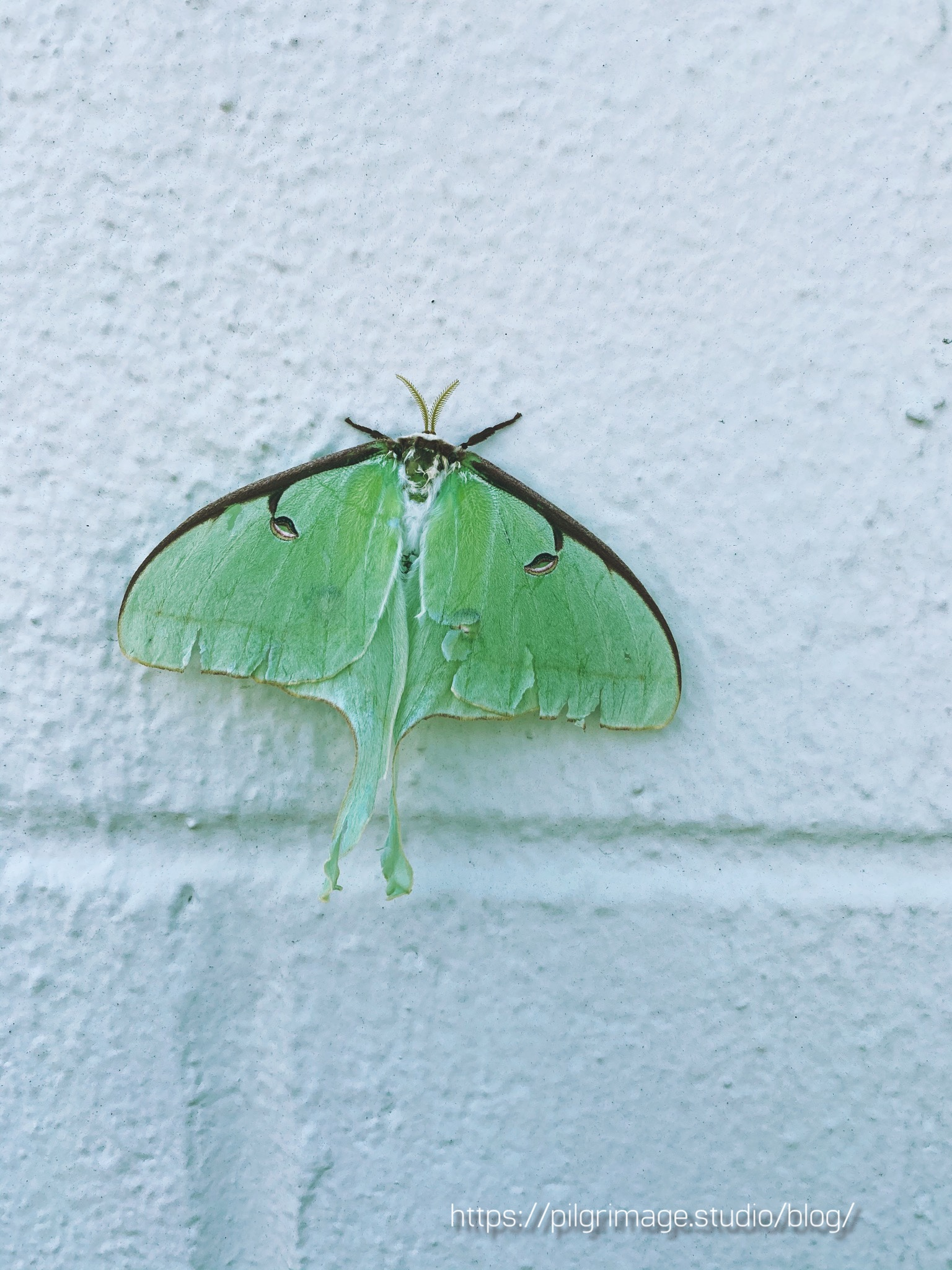 Large Luna moth