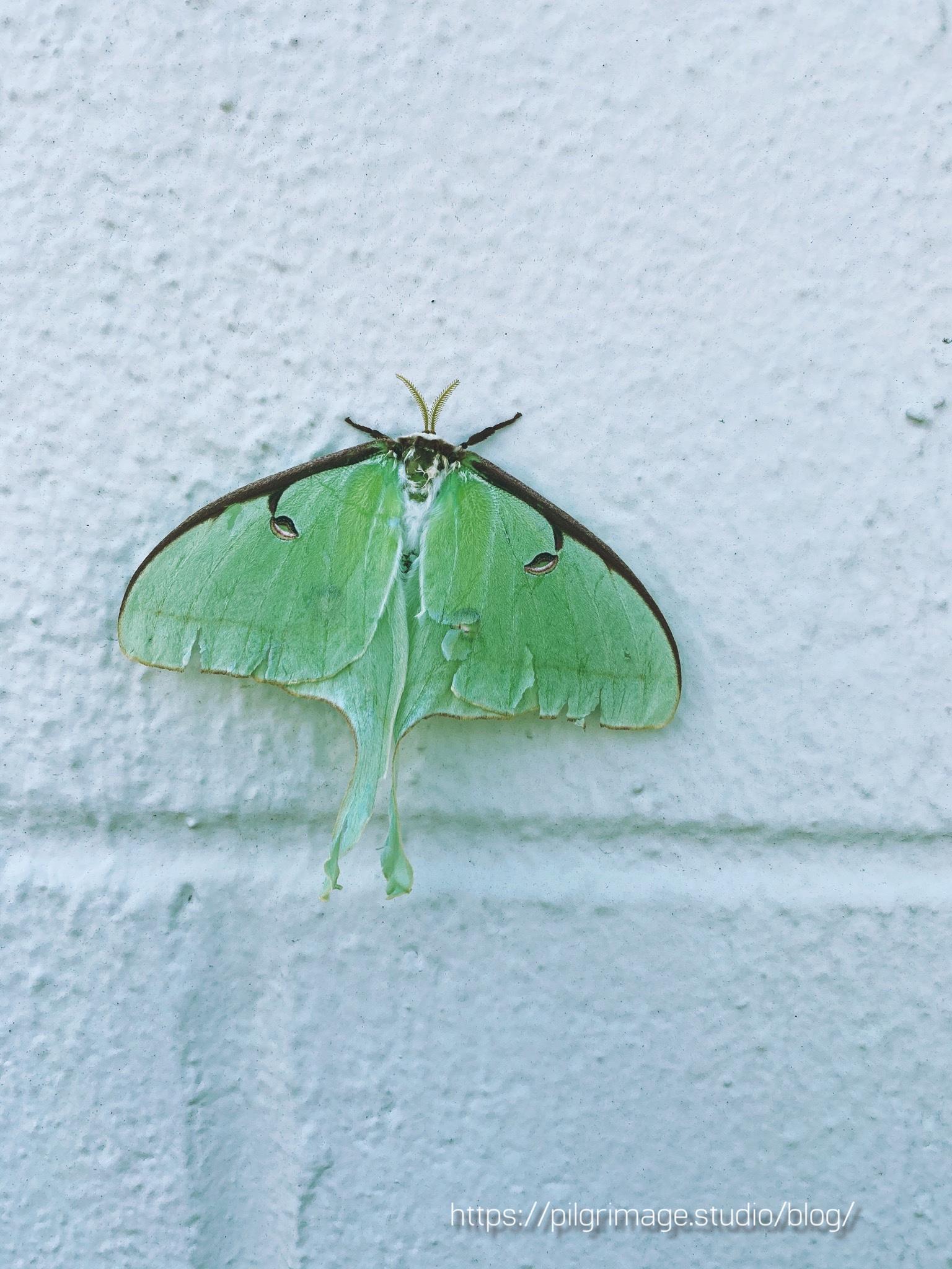 Large Luna moth