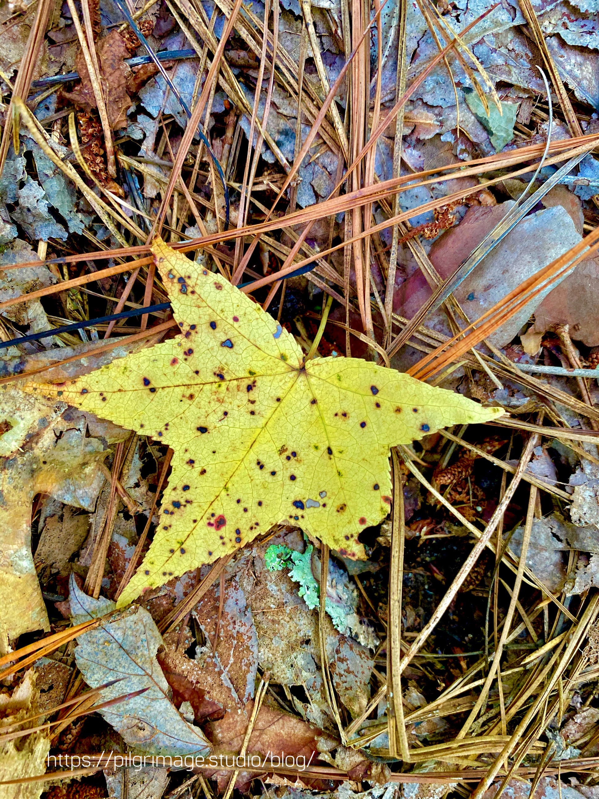 A single yellow fall leaf  on the forest floor