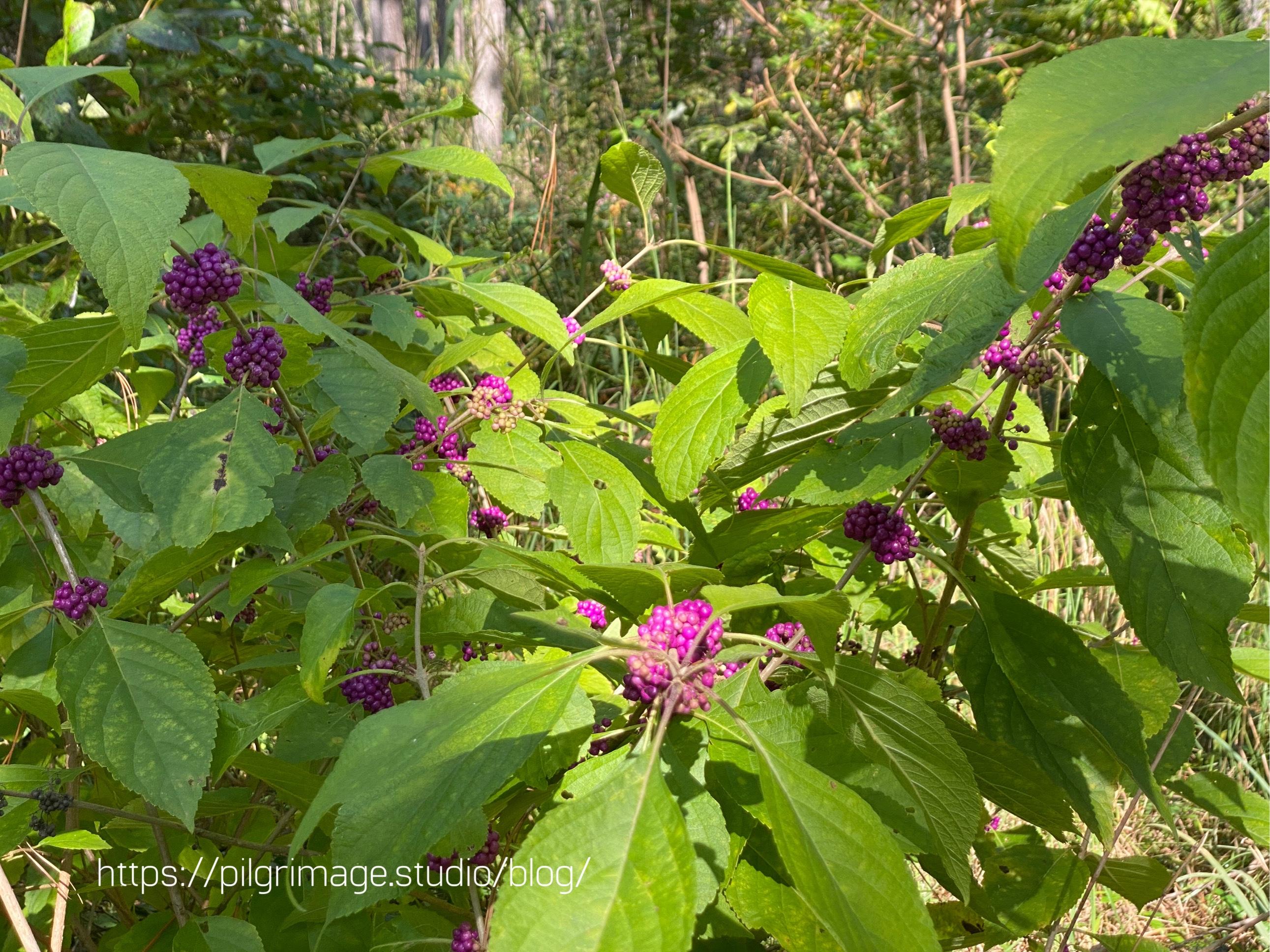 Beautyberry bush