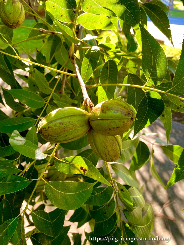 Pecans hanging in the tree