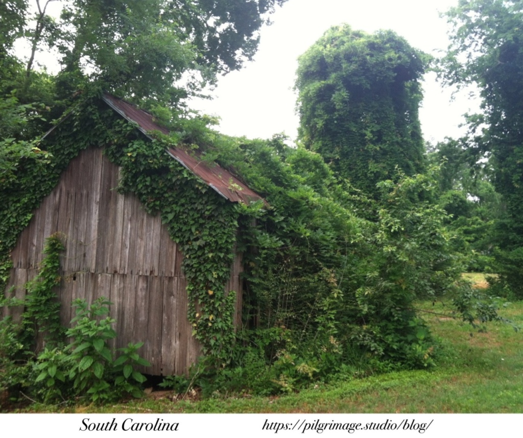 Old shed covered in Ivy