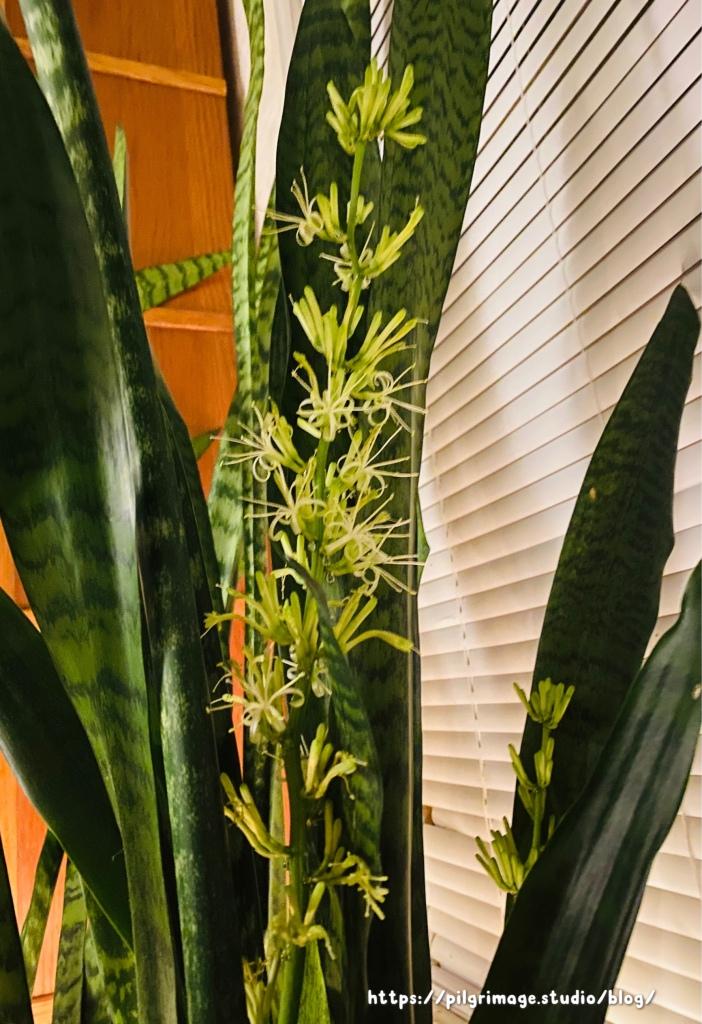 Blooming Sword Plant